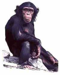 photo of chimp
