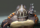New Pre! sites for Painted turtle and Spotted gar