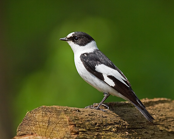 Collared-Flycatcher_Garth_Peacock
