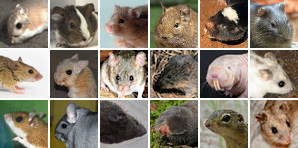 Images of the new rodents